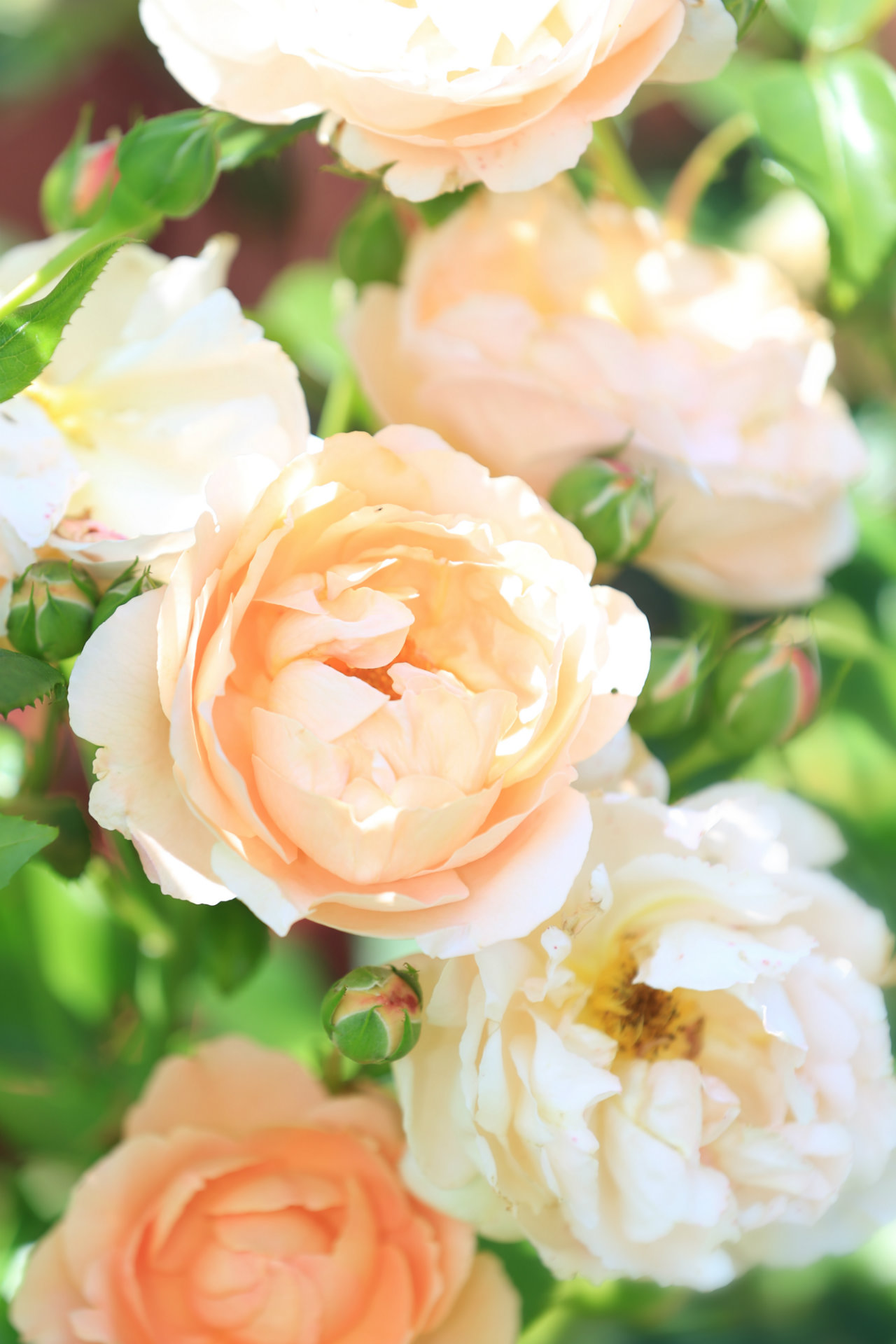 Roses in bloom in Fayette (photo)